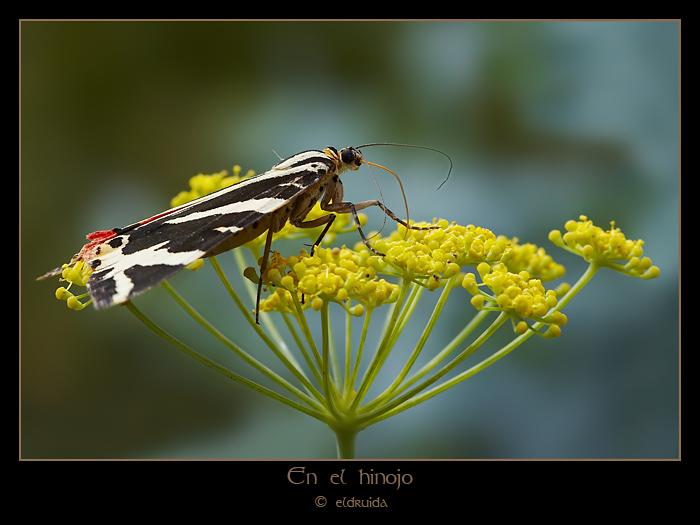 01_Euplagia_quadripunctaria.jpg