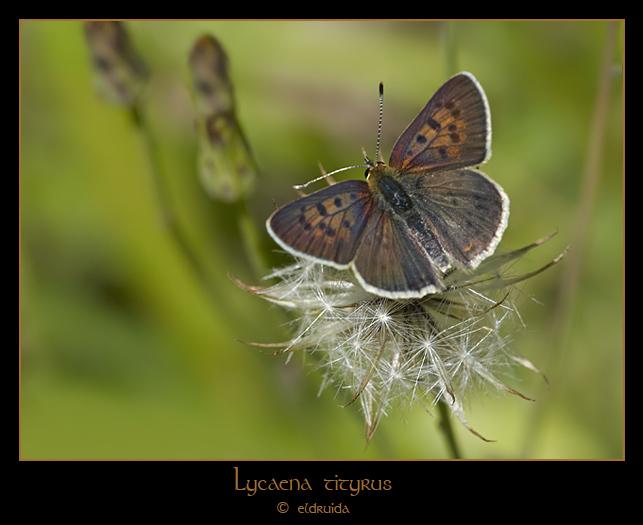 01_Lycaena_tityrus_web.jpg