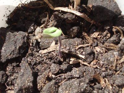 01_Tomate_a_los_14_d_as_12_04_2007_.JPG