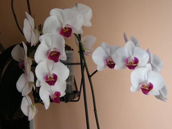 02-03-10-022-phal-blanca-labelo-roj.jpg