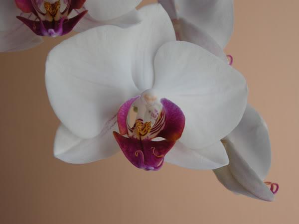 02-03-10-025-phal-blanca-labelo--ro.jpg