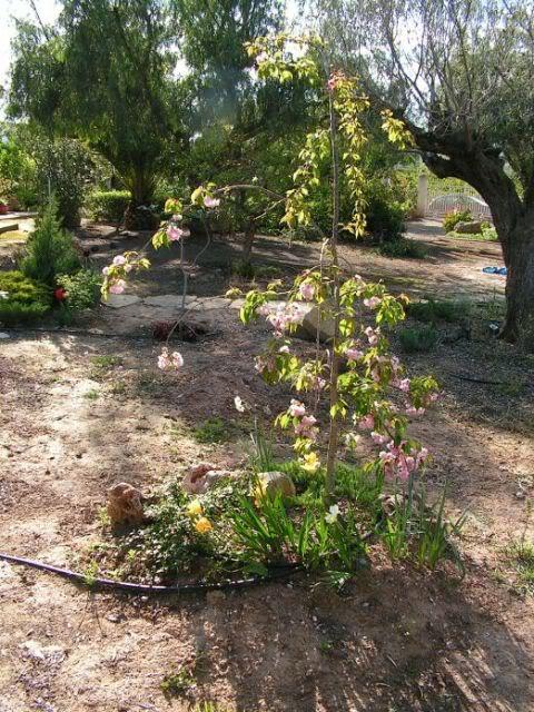 03-cerezojaponesestanque-prunusserr.jpg