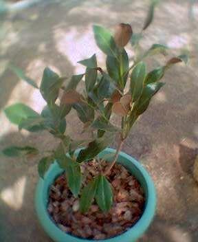 Magnolio magnolia grandiflora cultivo o cuidados - Magnolia grandiflora cuidados ...