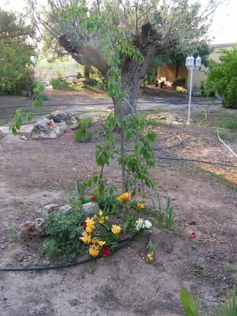 04-cerezojaponesestanque-prunusserr.jpg