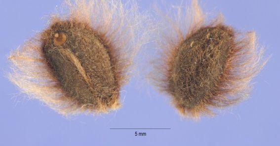 04-ipomoea-pandurata-semilla-medium.jpg