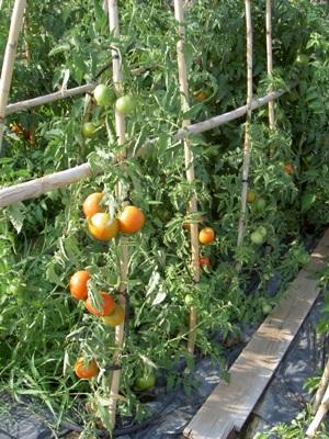 Foto de tomatera con tutores de ca as - Tutores para tomates ...