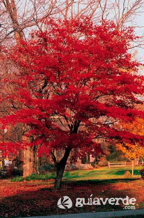 Acer palmatum me lo recomend is condiciones no ideal o - Arce arbol variedades ...