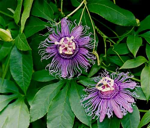071603-passiflora_incense2.jpg