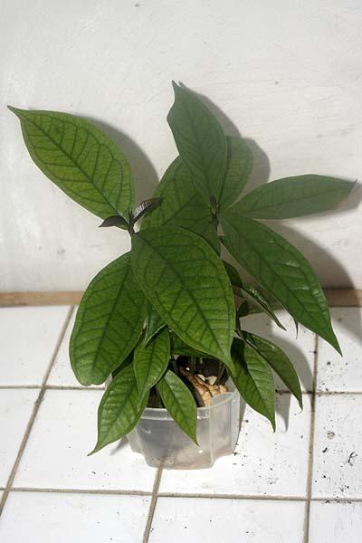 081022_Syzygium_malaccensis_taper.jpg