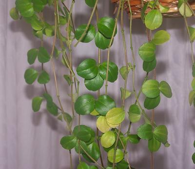 Foto de peperomia rotundifolia quiz s planta colgante de for Plantas de interior fotos y nombres