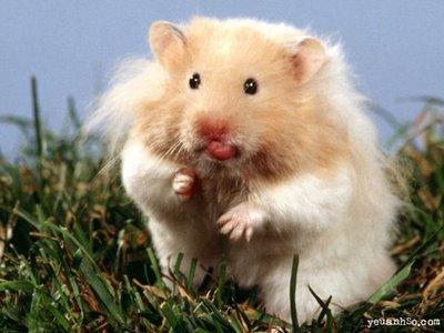 1295749342_160165503_4-Hamsters-Comunes-Rusos-Angoras-Pandas-Compra-Venta.jpg