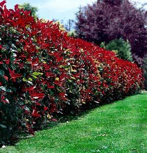 Seto Para Delimitacion De La Parcela Cual - Arbustos-para-vallas
