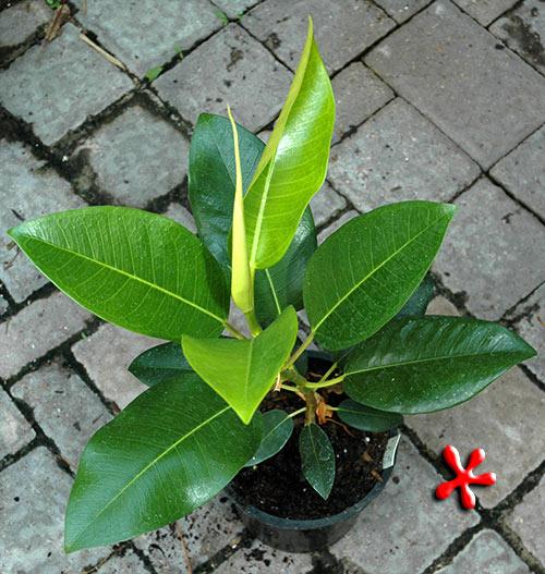 1335-Ficus_macrophylla-Moreton-Bay-Fig.jpg