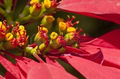 15477231-macro-de-flores-flor-de-pascua-que-a-menudo-se-asocian-con-la-navidad.jpg