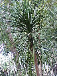 200px-Beaucarnea_pliabilis5.jpg