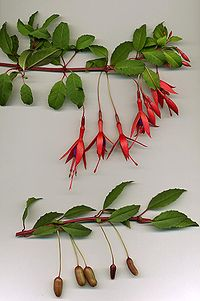 200px-Fuchsia_magellanica.jpg