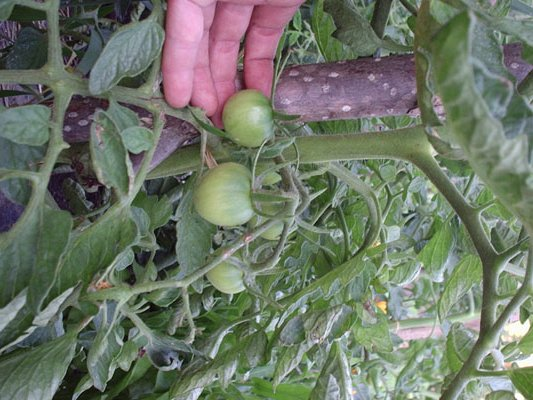 22-06 primeros tomatitos.jpg