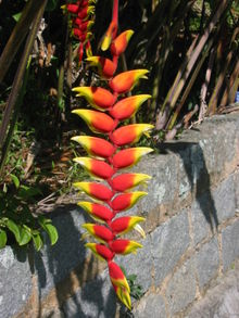 220px-Heliconia_rostrata1.jpg