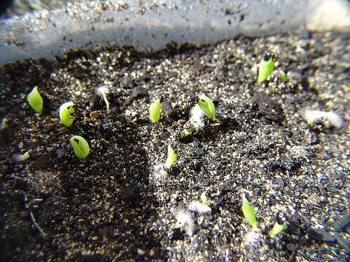 Cactus desde semillas for Semillas de cactus chile