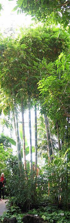 225px-Bambus_berlin_botanischer_garten.jpg