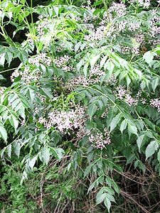 225px-Chinaberry1216.JPG