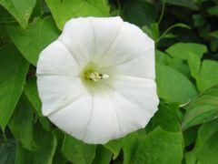 240px-Calystegia_sepium_ssp_sepium_bluete.jpe