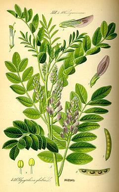 240px-Illustration_Glycyrrhiza_glabra0.jpg