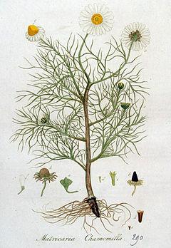 240px-Matricaria_chamomilla_%E2%80%94_Flora_Batava_%E2%80%94_Volume_v4.jpg