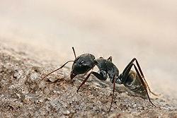 250px-Camponotus_sp._ant.jpg