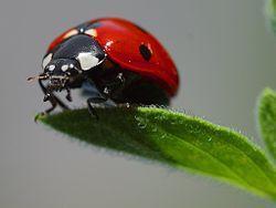 250px-Ladybird.jpg
