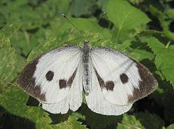250px-Large_white_spread_wings.jpg
