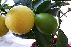 250px-Limequat.jpg