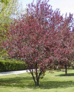 2624-prunus-cerasifera-nigra-1.jpg