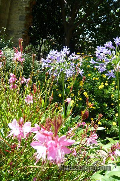 26464d1311353228t-el-jardin-de-la-parroquia-p1070641agapantos-gauras..jpg