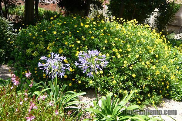 26467d1311353279t-el-jardin-de-la-parroquia-p1070642agapantos-euryops.jpg