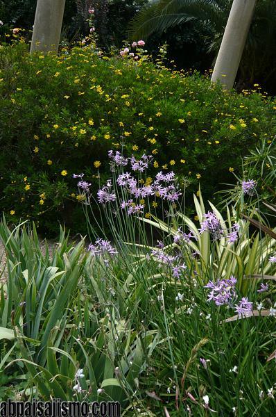 26470d1311353360t-el-jardin-de-la-parroquia-p1070686thulbaghias-y-euryops.jpg