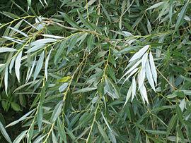 270px-Salix_alba_leaves.jpg