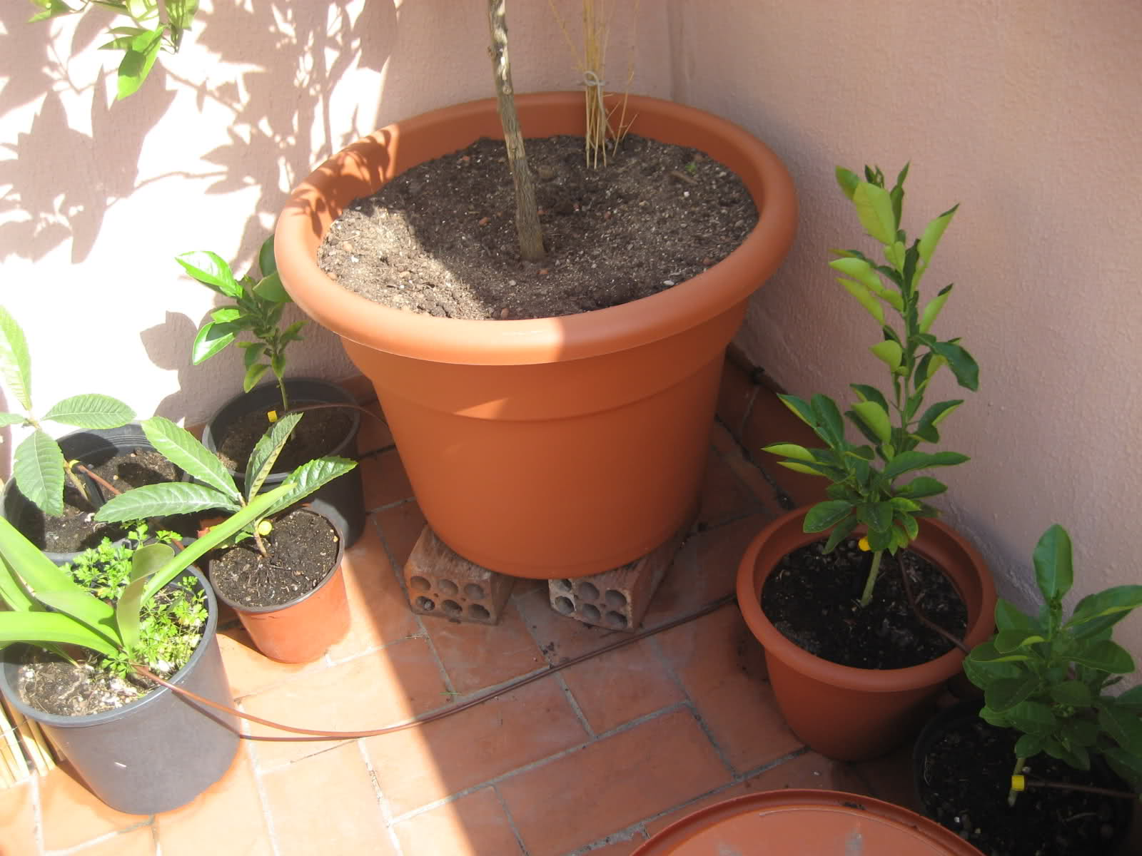 Cultivo de c tricos en macetas p gina 15 - Macetas barcelona ...