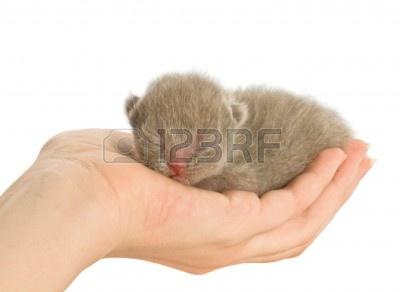 3102562-reci-n-nacidos-gatito-en-la-mano-aislado-en-fondo-blanco.jpg