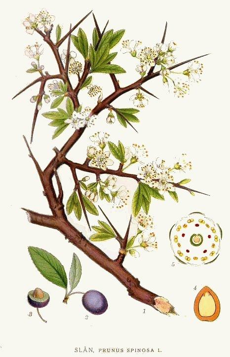 313_Prunus_spinosa.jpg