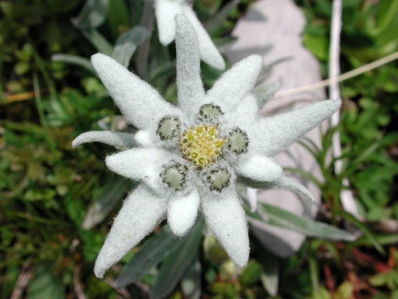 33_edelweiss.jpg