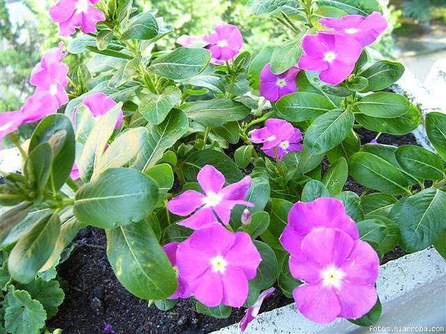 Vinca c mo multiplicar por esquejes for Planta ornamental que se reproduzca por esquejes