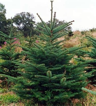4059-abies-procera-noble-fir.jpg