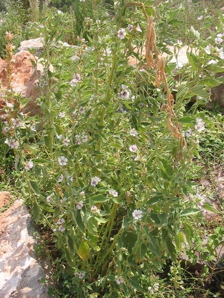 450px-Althea_officinalis.jpg