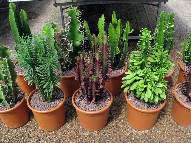 De viveros murcianos caudex y otras plantas suculentas for Viveros en murcia