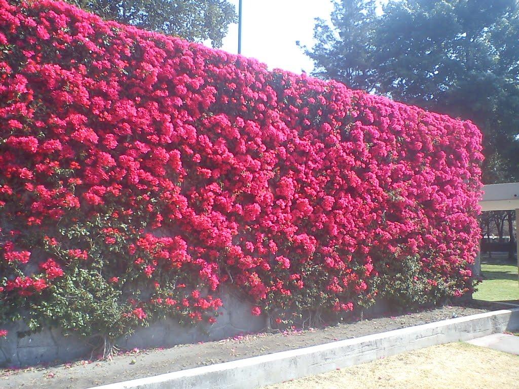 Opciones para ocultar este muro - Fotos de buganvillas ...