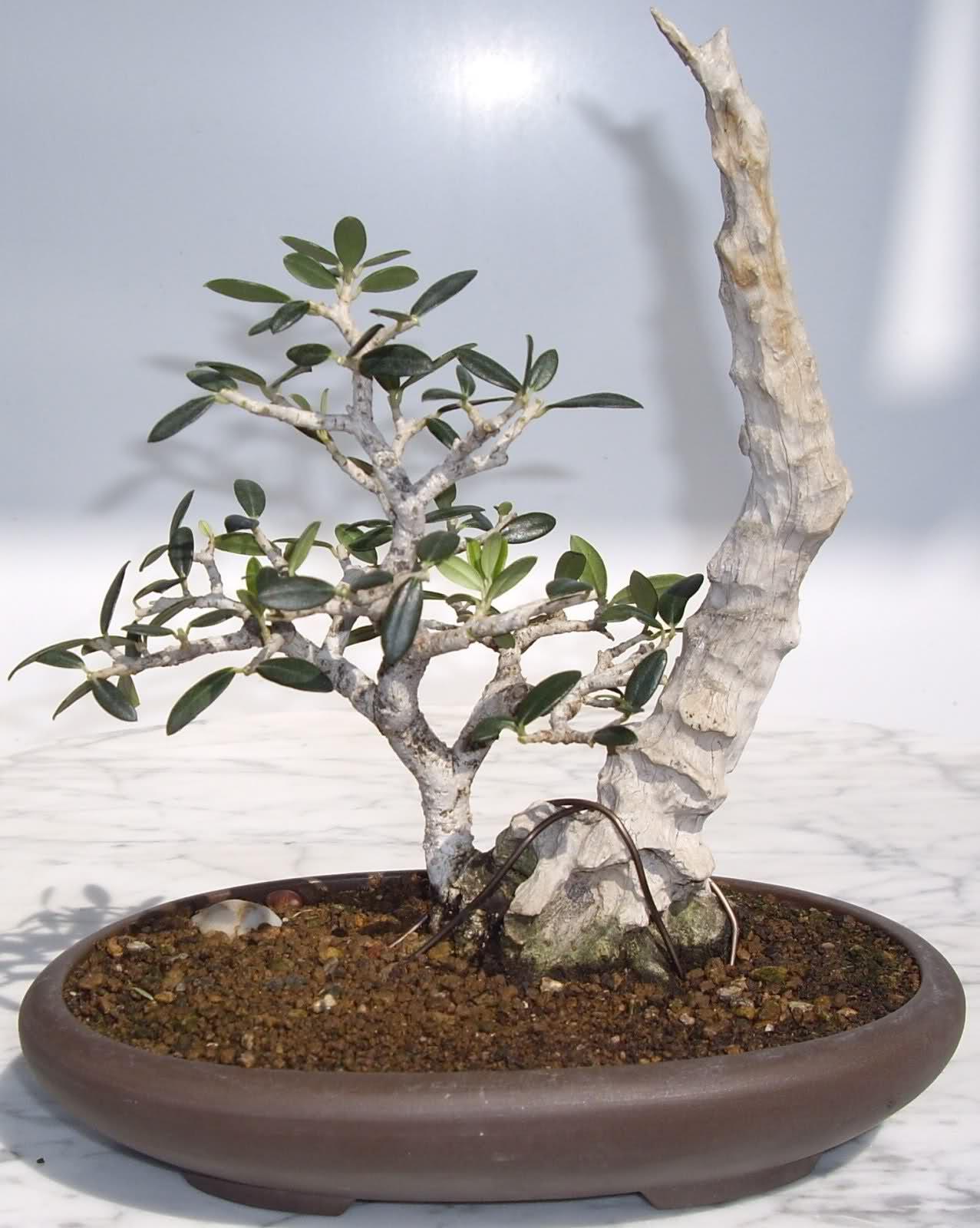 Como podar una olivera trendy como podar arboles frutales for Cuando se podan los arboles frutales