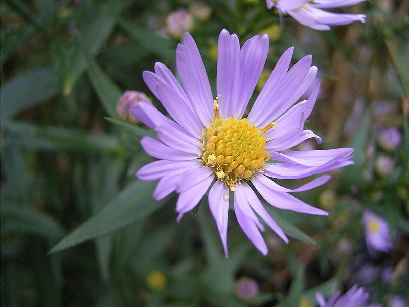 800px-AsterNovi-belgii-flower-1mb.jpg