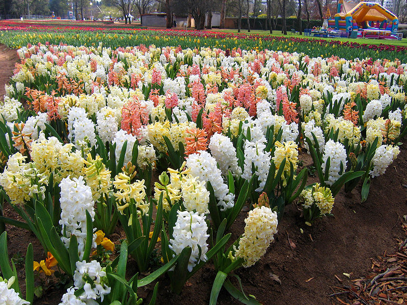 800px-Hyacinths_-_floriade_canberra.jpg