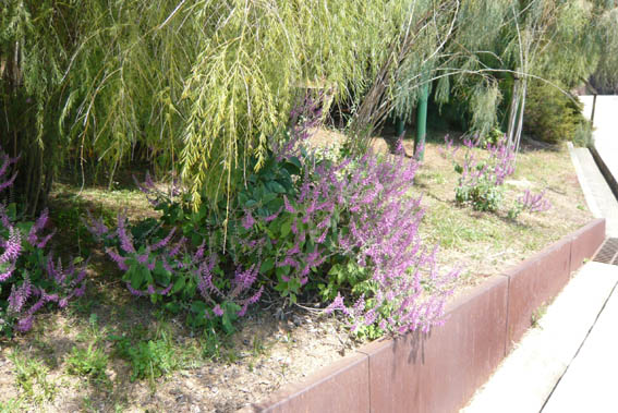 9813d1277633593-un-paseo-por-jardines-de-barcelona-p1040649teucrium-betonicum.jpg